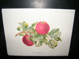 Amateur Gardening 1892 Antique Botanical Print. An Early dessert Apple, Fruit